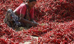 Für Indiens Chilifarmen tun sich neue Absatzmärkte auf. / Bild: REUTERS