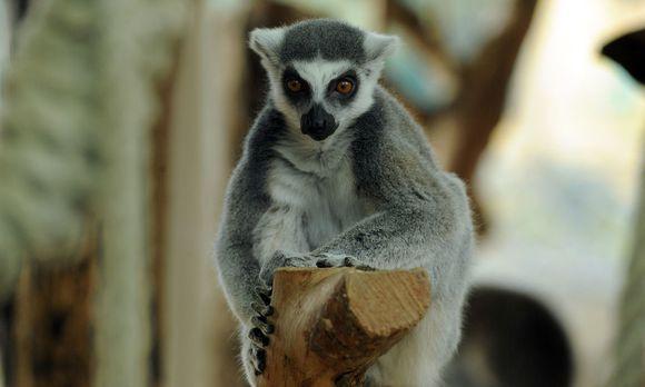 Sie, die nach den Schattengeistern der Toten benannt wurden, gibt es seit 60 Millionen Jahren auf Madagaskar, nur dort. Wie kamen sie hin?