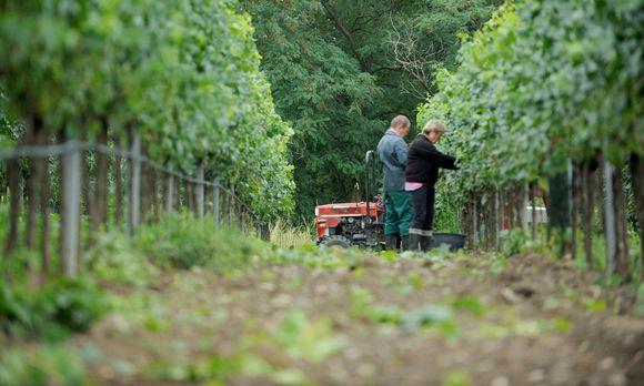 Skandinavien Das Nordland Wird Zum Weinland