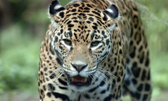 lockte der duft von leoparden urin auch unsere ahnen. Black Bedroom Furniture Sets. Home Design Ideas