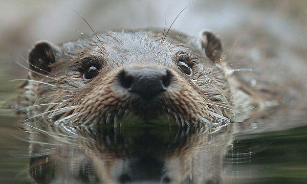 Archivbild: Ein Fischotter, aufgenommen in Bayern / Bild: APA / dpa
