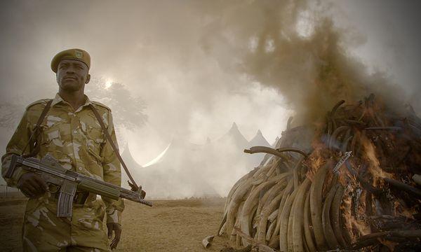 Als Maßnahme gegen den illegalen Handel wurde in Afrika Elfenbein verbrannt / Bild: (c) Richard Ladkani/Netflix