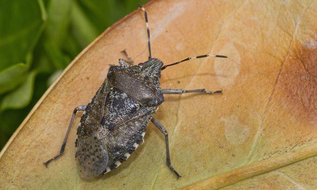 Wien plagen belriechende wanzen - Was tun gegen insekten im zimmer ...